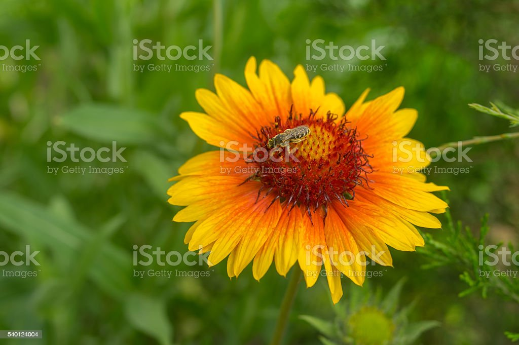 Indian blanket flower with tiny insect gathering nectar on stock photo