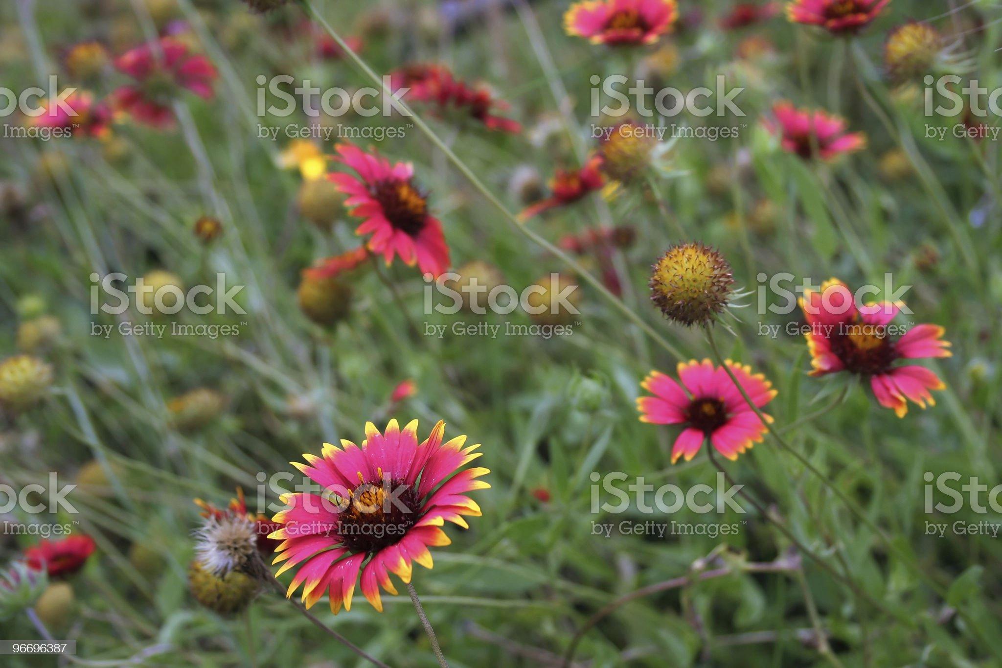 Indian Blanket (Gaillardia pulchella) wildflowers in a Texas field royalty-free stock photo