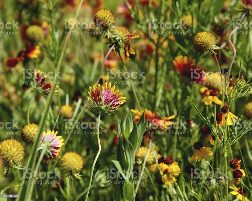Indian Blanket Wildflowers royalty-free stock photo