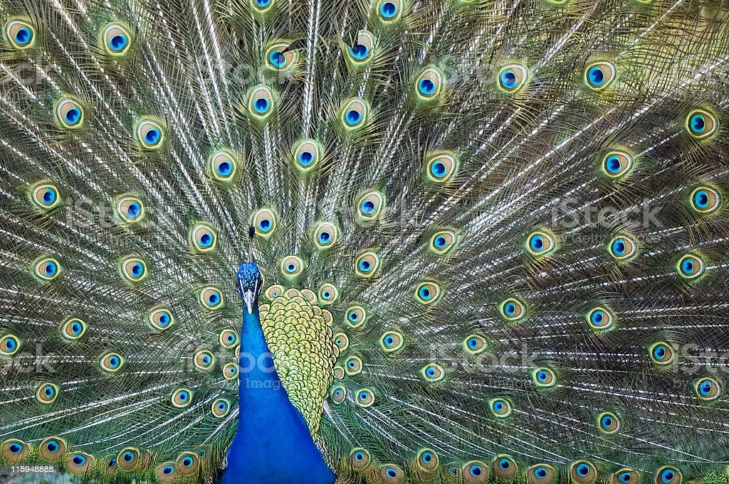 Indian Blue Peacock royalty-free stock photo