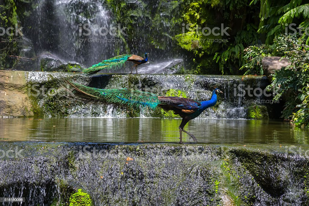 Indian blue peafowl stock photo