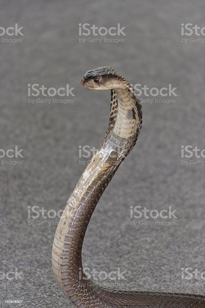 indian cobra stock photo