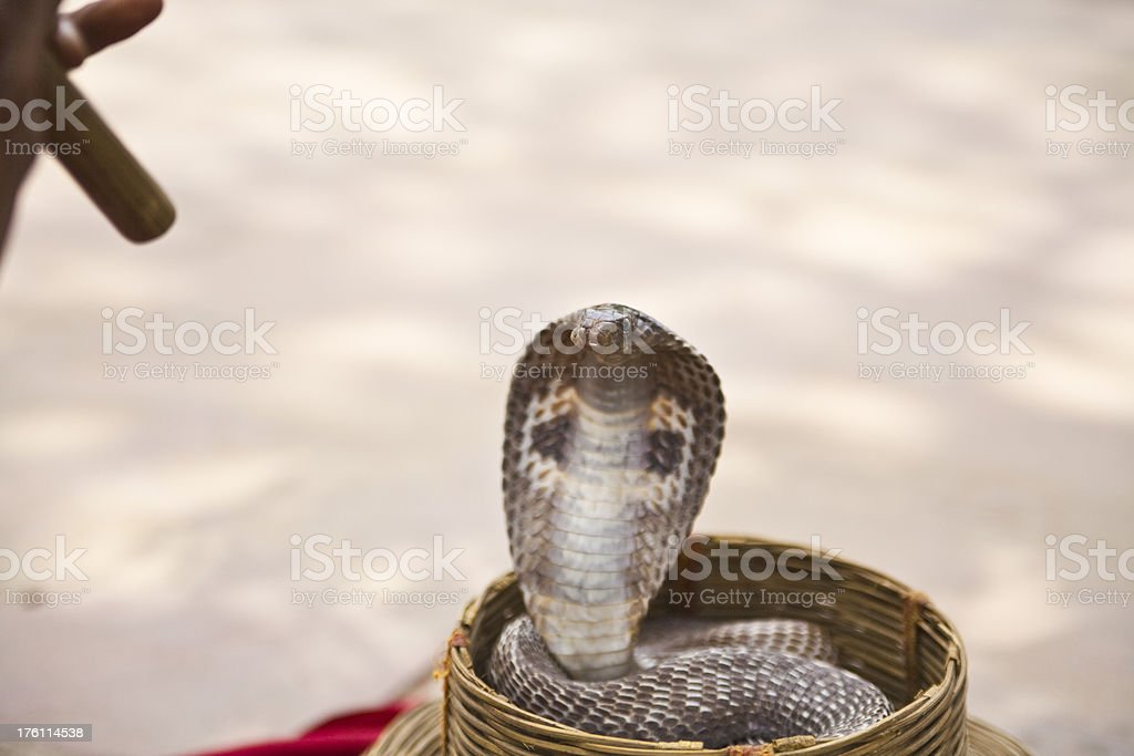 Indian cobra royalty-free stock photo