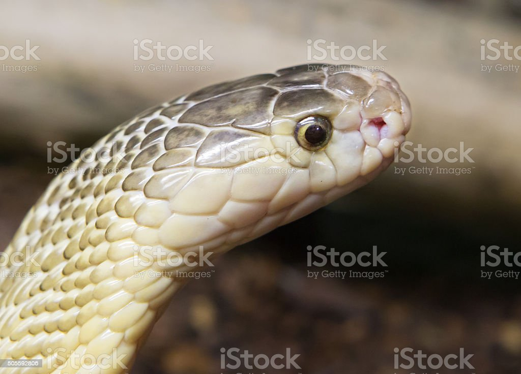 Indian Cobra (white form) stock photo