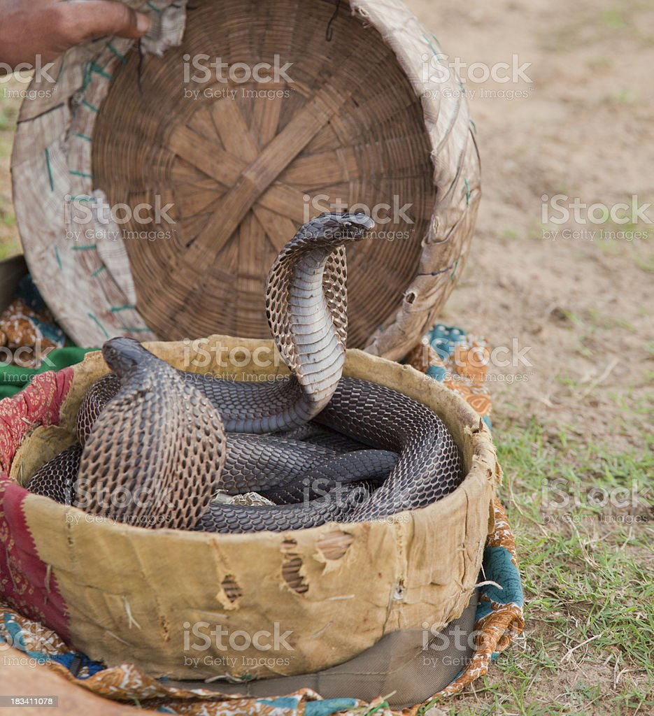 Indian Cobras in basket royalty-free stock photo