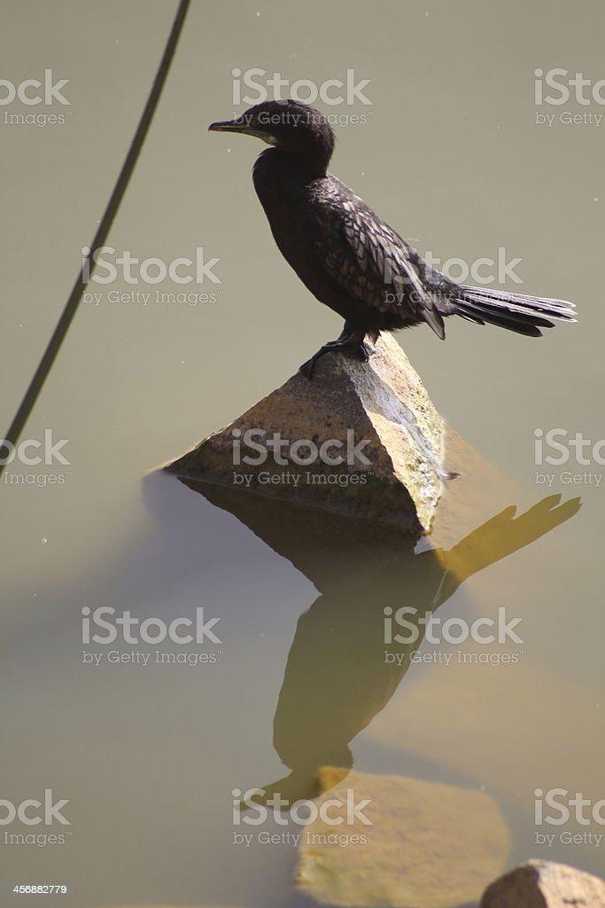 Indian Cormorant stock photo