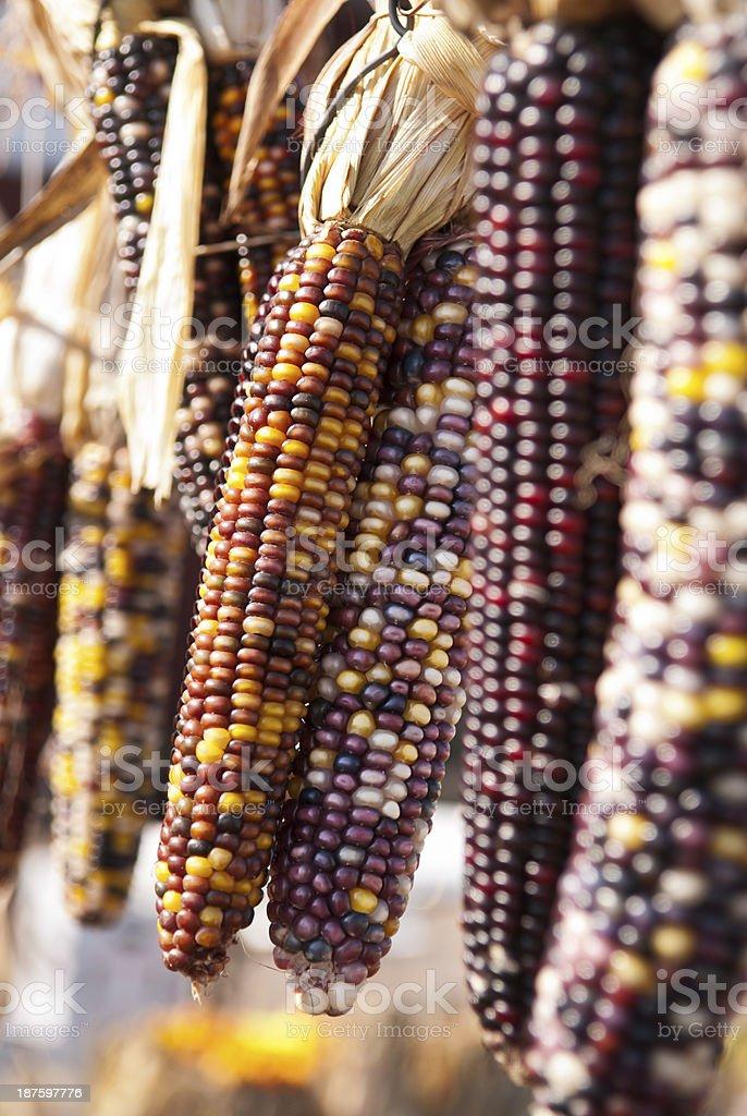 Indian Corn Autumn stock photo