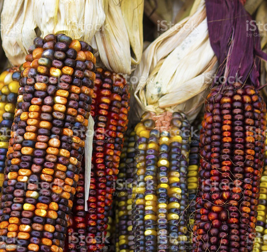 Indian Corn Close up royalty-free stock photo