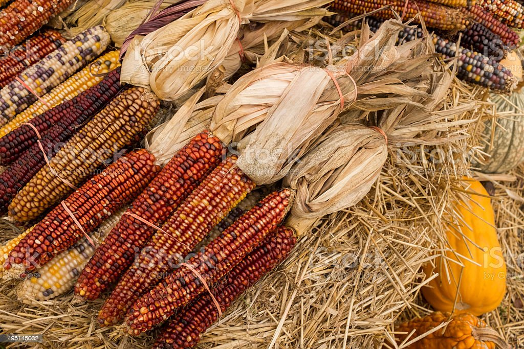 Indian corn cobs and husks stock photo