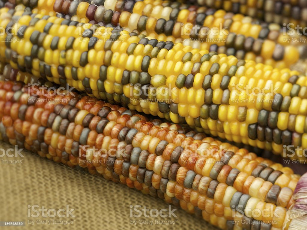 Indian corn cobs on brown canvas royalty-free stock photo