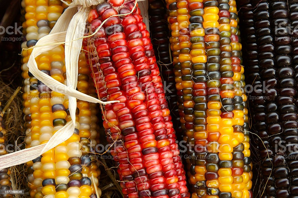 Indian Corn cobs stock photo