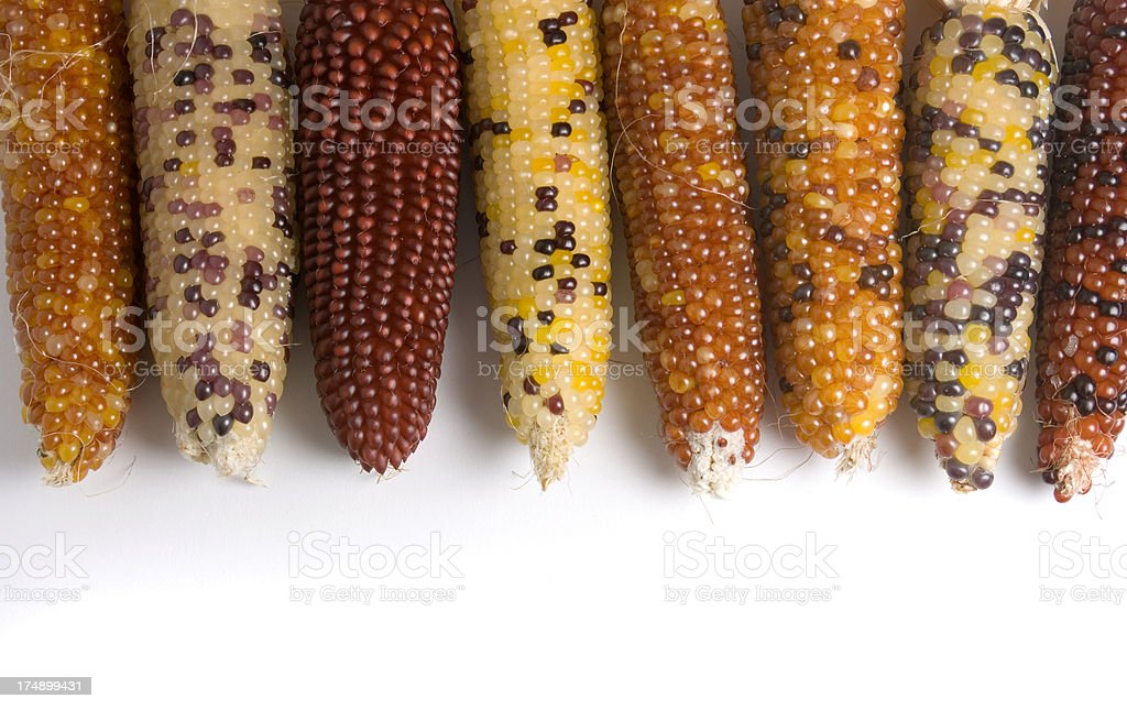 Indian Corn Crop in Autumn Harvest, Isolated on White Background stock photo