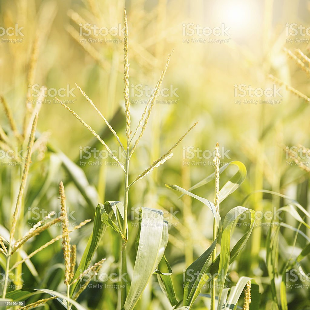 Indian Corn Field in Summer royalty-free stock photo