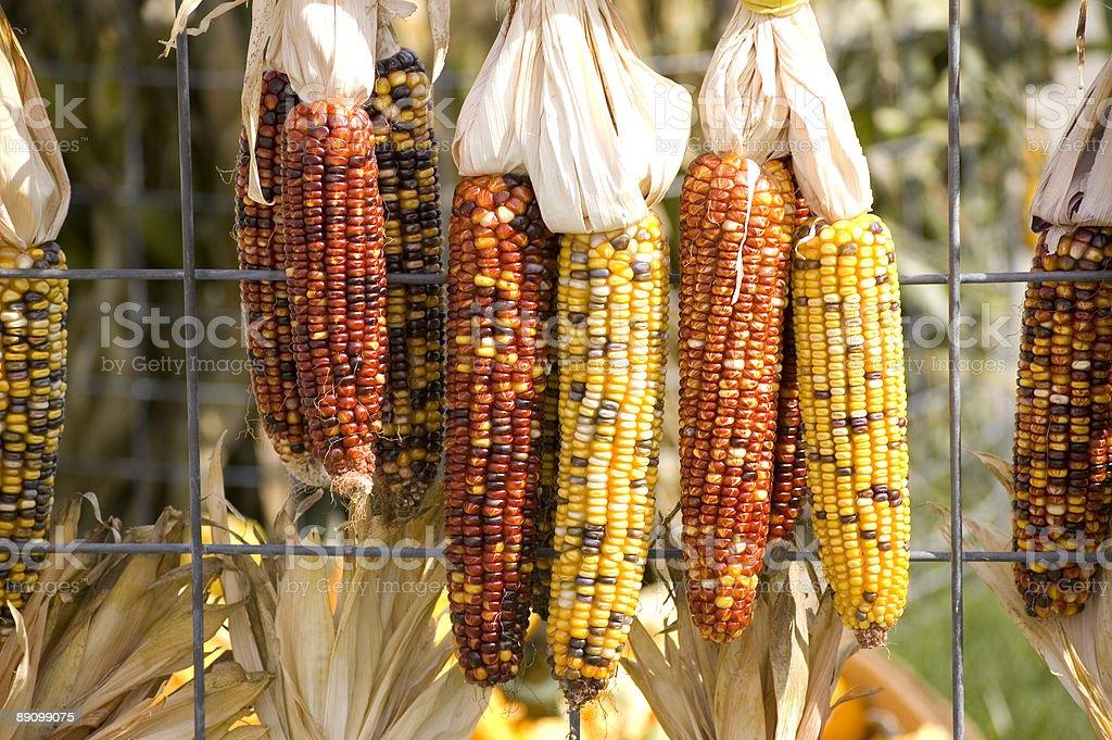 Indian Corn on Fence stock photo
