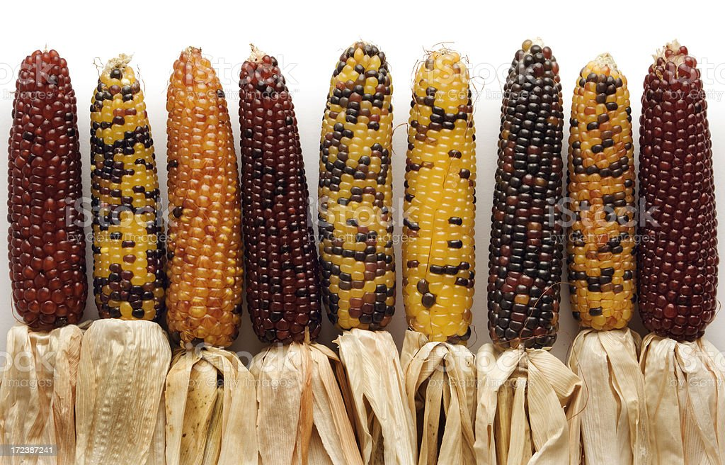 Indian Corn Palette royalty-free stock photo