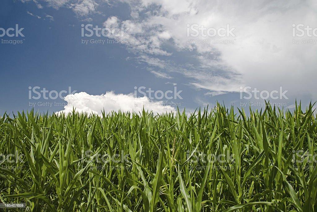 Indian Corn Summer Landscape stock photo