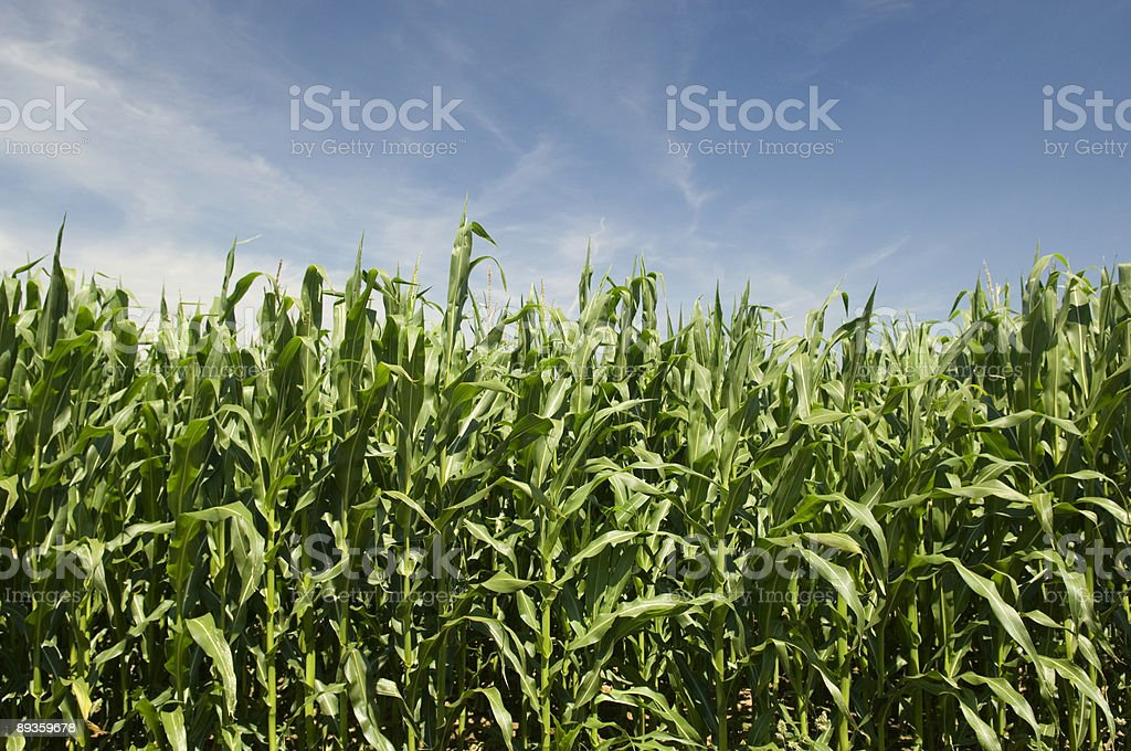 Indian Corn Summer Landscape royalty-free stock photo