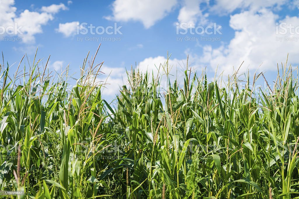 Indian Cornfield with Clouds on bright summer day royalty-free stock photo