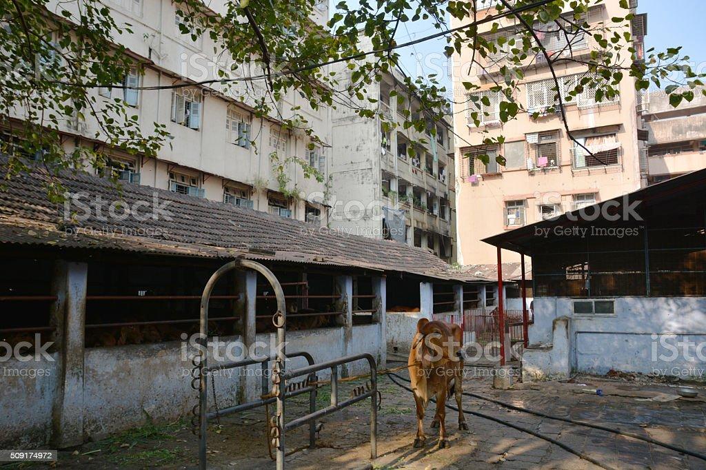 Indian cow in Mumbai stock photo