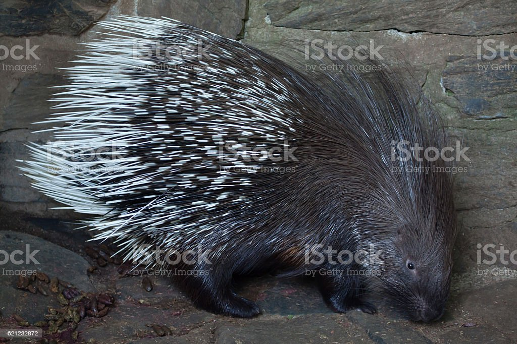 Indian crested porcupine (Hystrix indica) stock photo