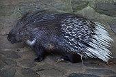 Indian crested porcupine (Hystrix indica)
