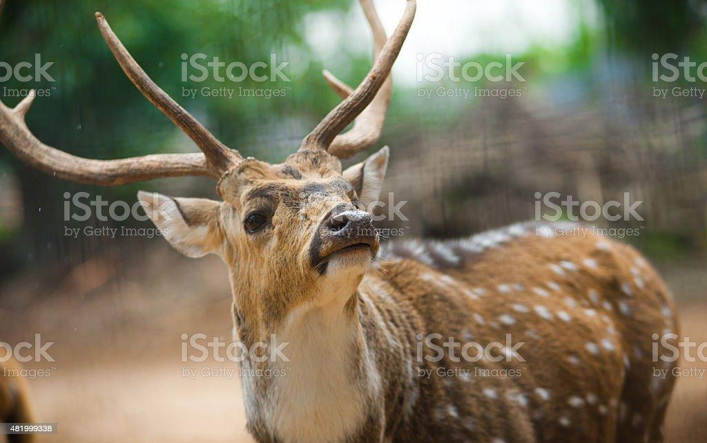 Indian deer close up portrait stock photo