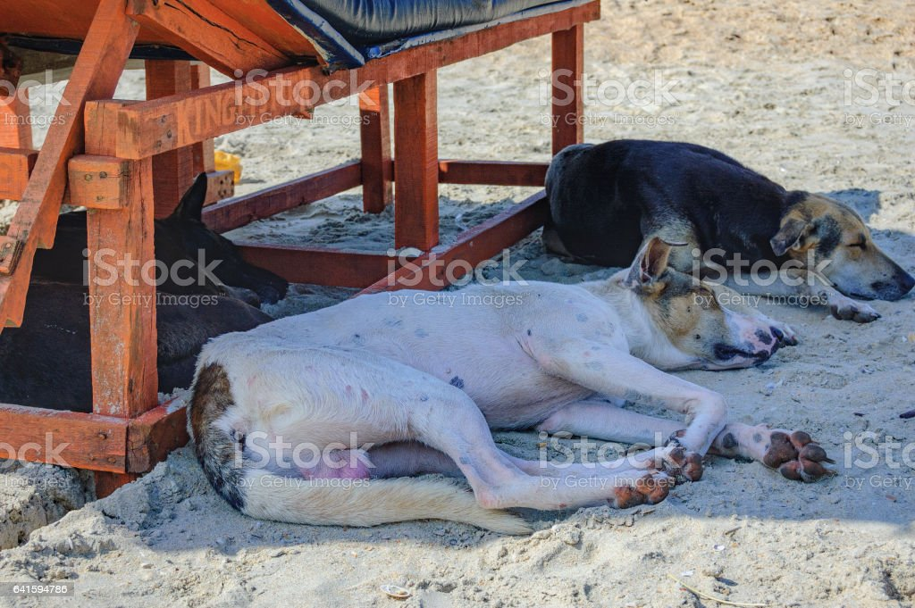 Homeless dog lying and sleeping in the shadow of the sun lounger on...