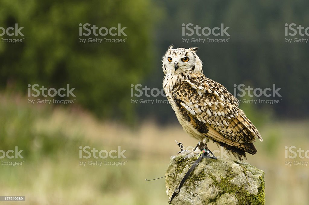 Indian Eagle Owl on rock royalty-free stock photo