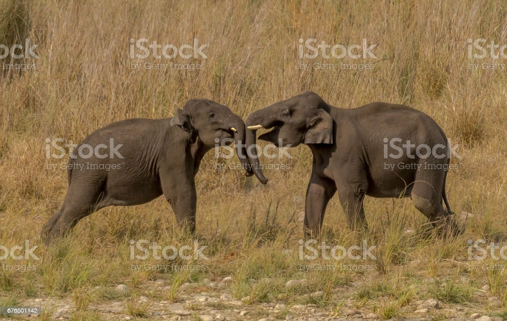Indian elephant - Children play fighting stock photo