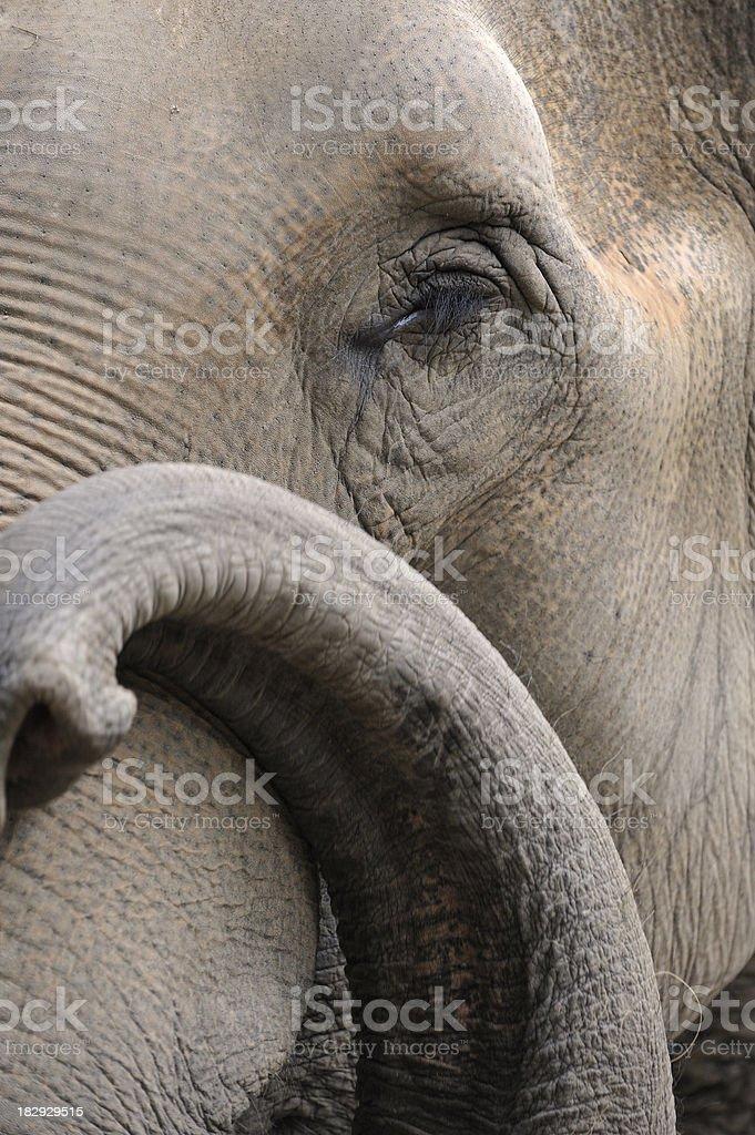 Indian Elephant royalty-free stock photo