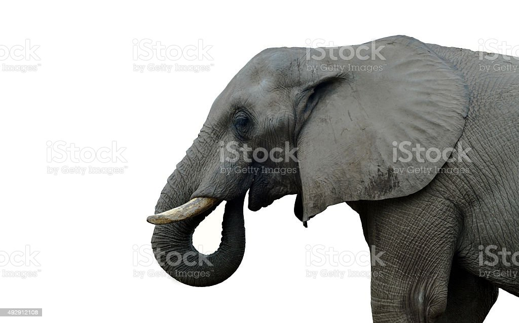Indian elephant stock photo