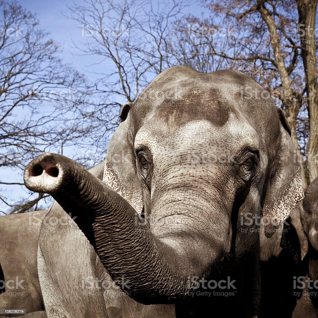 Indian Elephant Raising Trunk stock photo