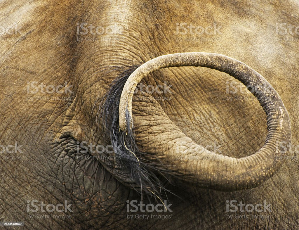 Indian elephant tail stock photo