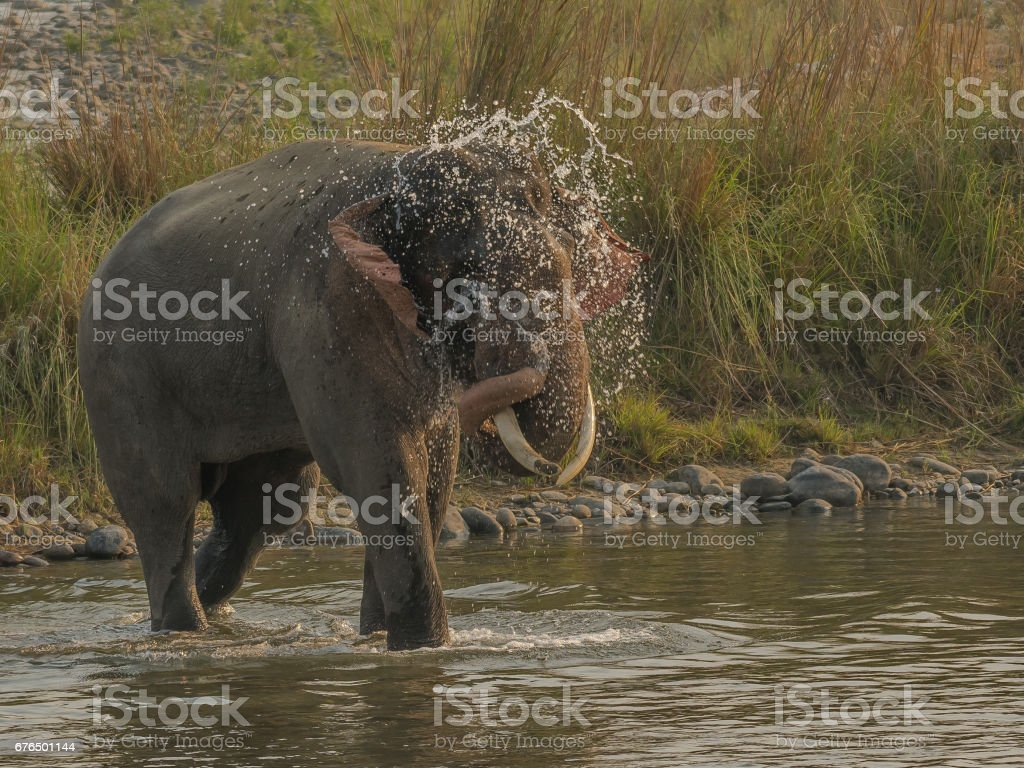 Indian Elephant - Tusker having water shower stock photo