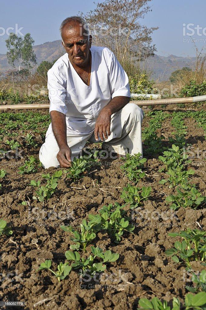 Indian Farmer in groundnut farm royalty-free stock photo