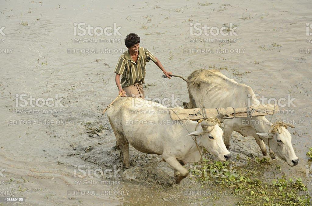 Indian farmer plowing rice fields stock photo