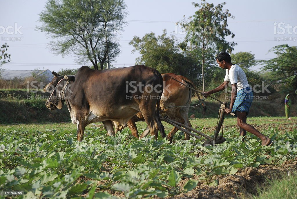 Indian farmer plowing the field with his cattle stock photo