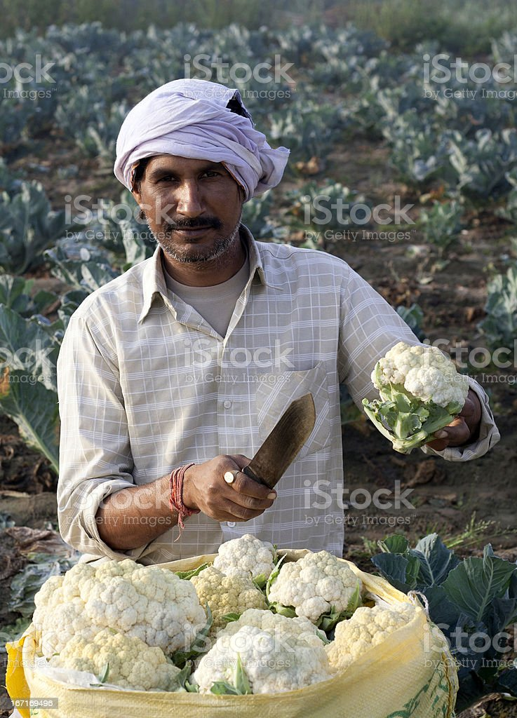 Indian Farmer  with Cauliflower Sack in Field. royalty-free stock photo