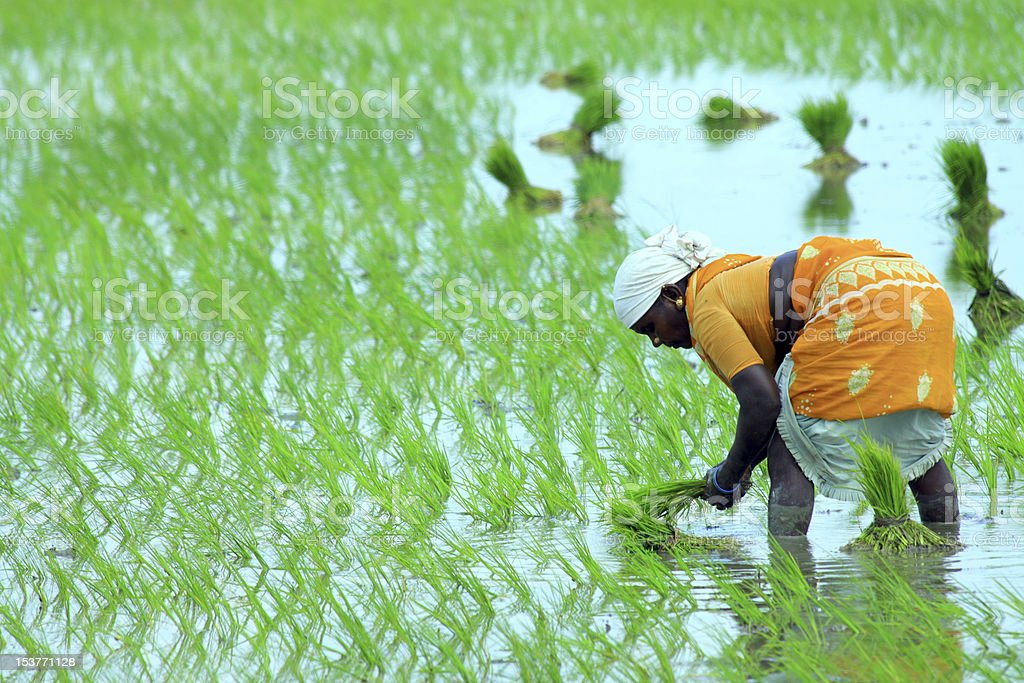 Indian farmer working on Field stock photo