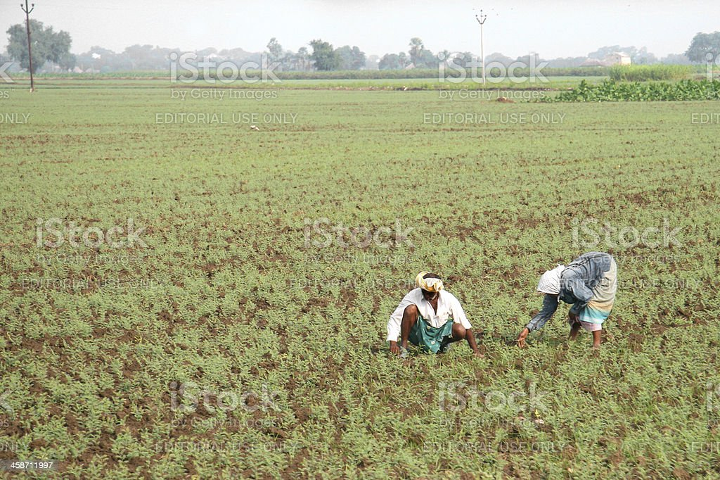 Indian farmers weed field by hand stock photo