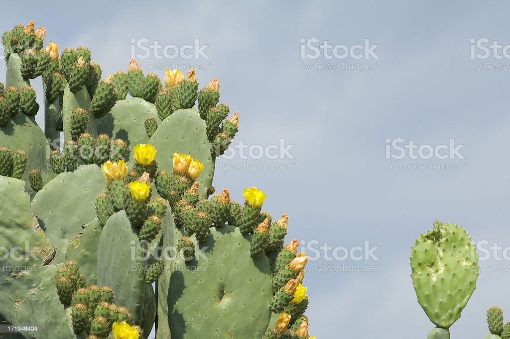 Indian Fig Opuntia stock photo