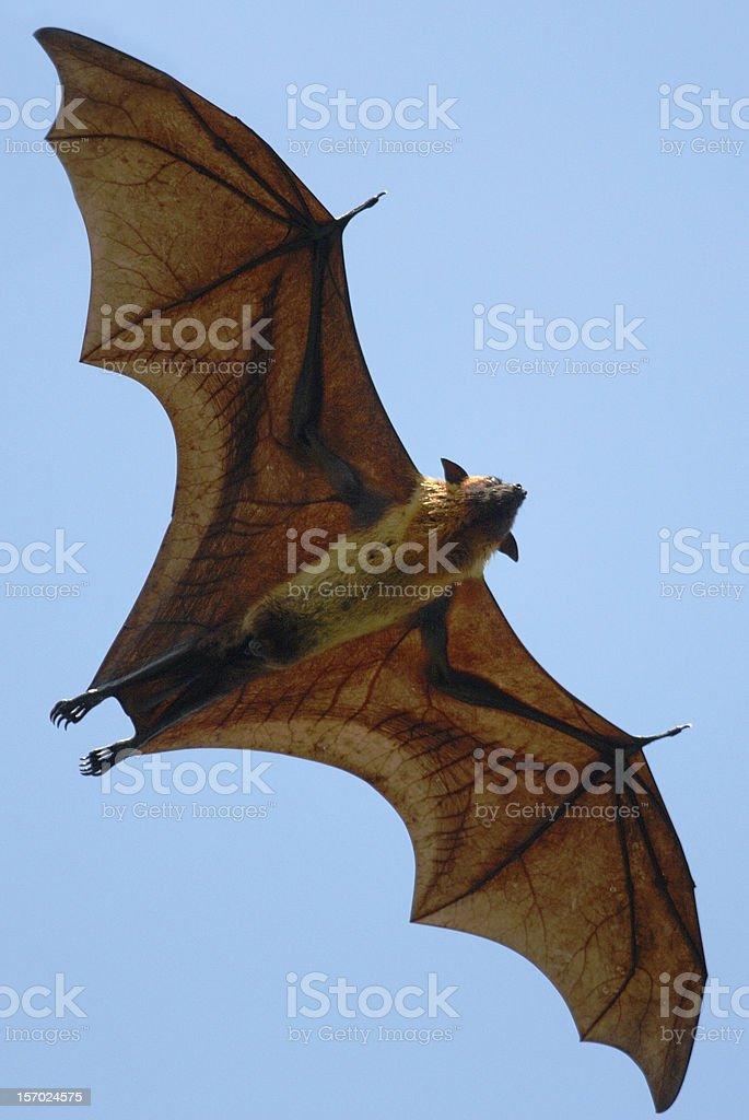Indian Flying Fox (pteropus giganteus) in Sri Lanka stock photo