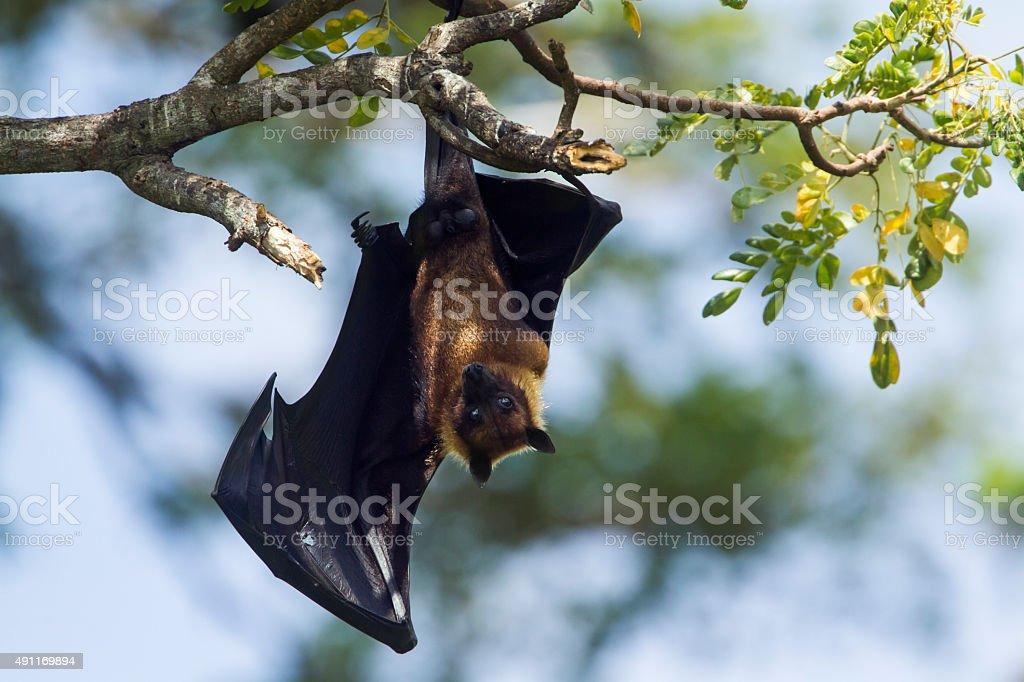 Indian Flying-fox in Tissamaharma, Sri Lanka stock photo