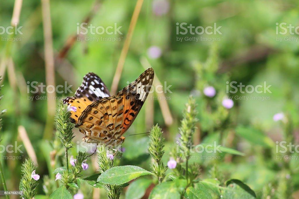 Indian fritillary (female) Part 2 stock photo