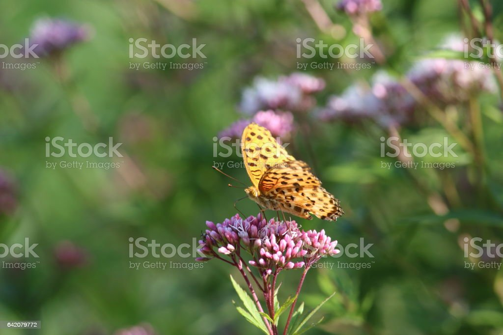 Indian fritillary (male) Part 3 stock photo