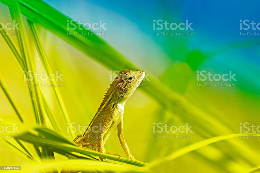Indian gecko inside a bush looking out stock photo
