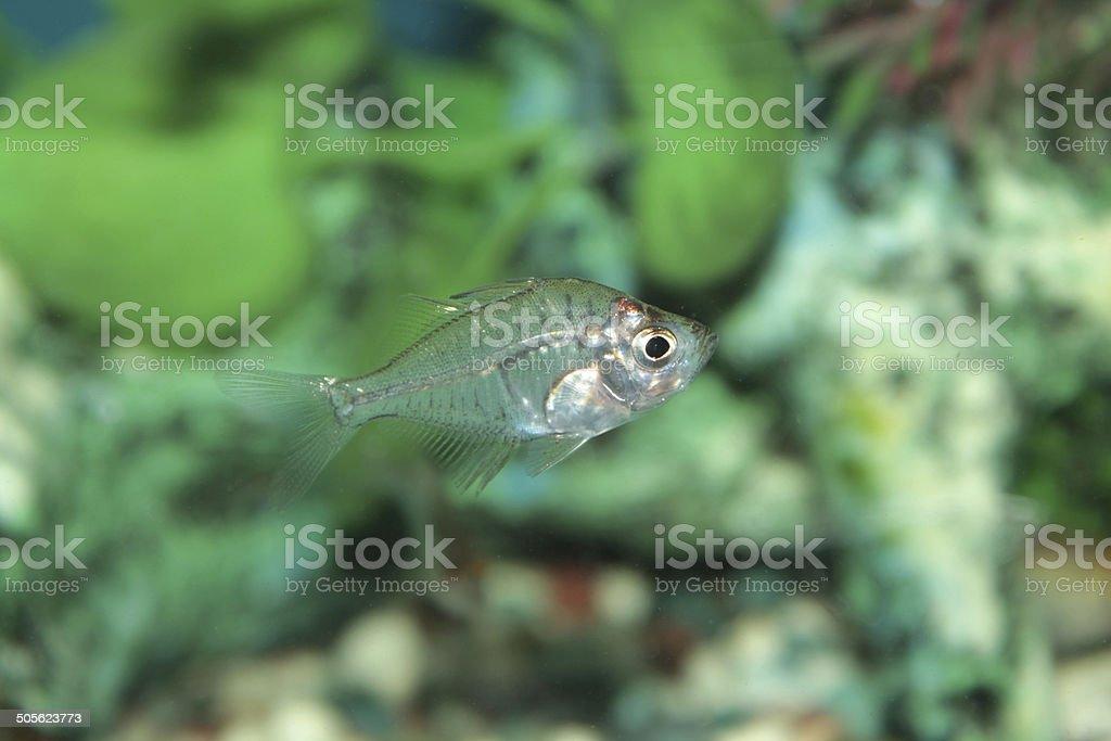 Indian Glass Perch (Chanda ranga) aquarium fish stock photo