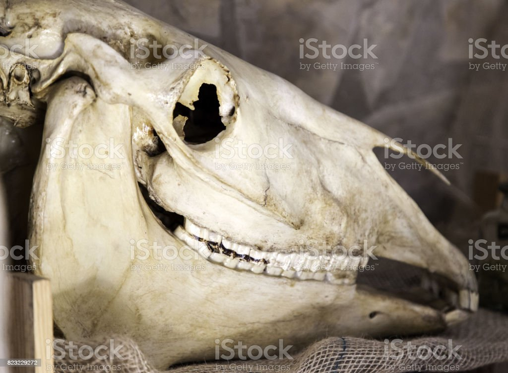 Indian goat skull stock photo