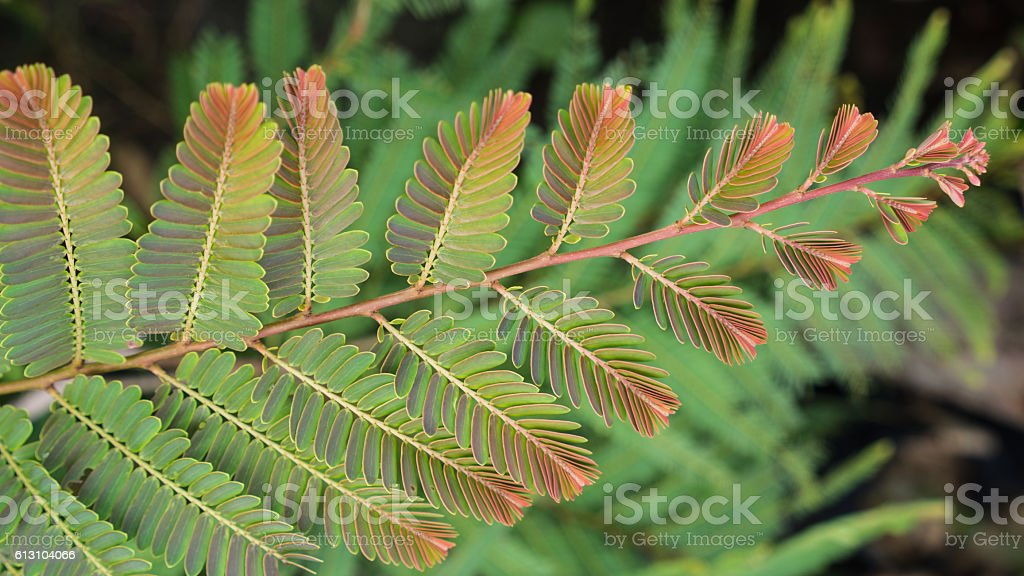 Indian Goose-Berry Leaf stock photo