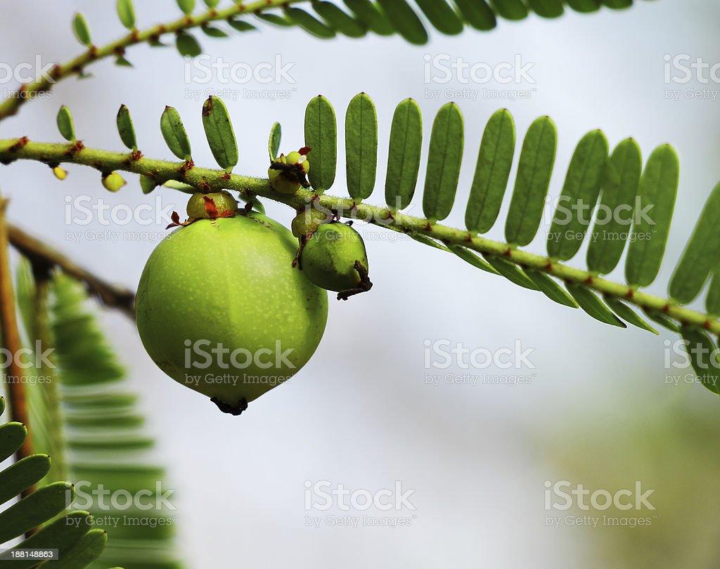 Indian Gooseberry royalty-free stock photo
